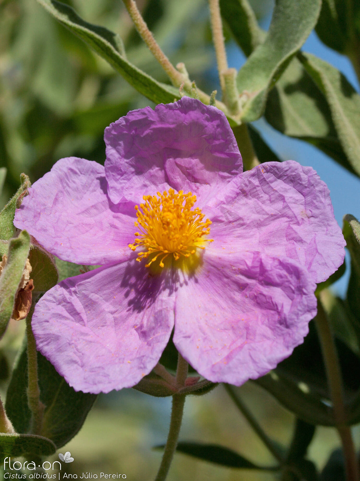 Cistus albidus - Flor (close-up) | Ana Júlia Pereira; CC BY-NC 4.0
