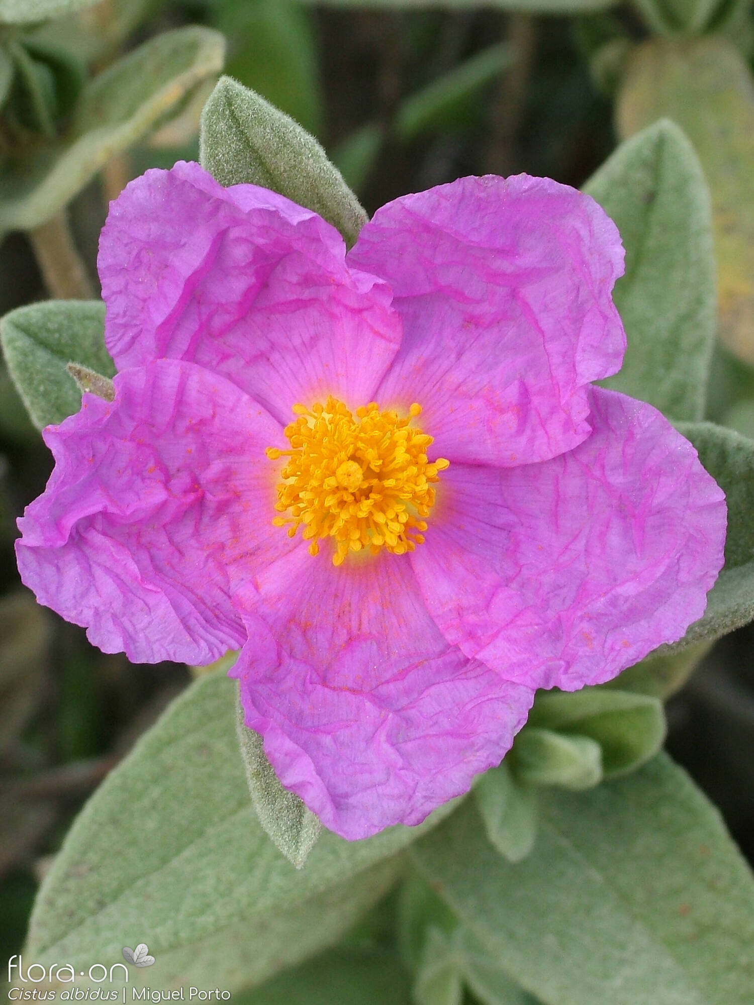 Cistus albidus - Flor (close-up) | Miguel Porto; CC BY-NC 4.0