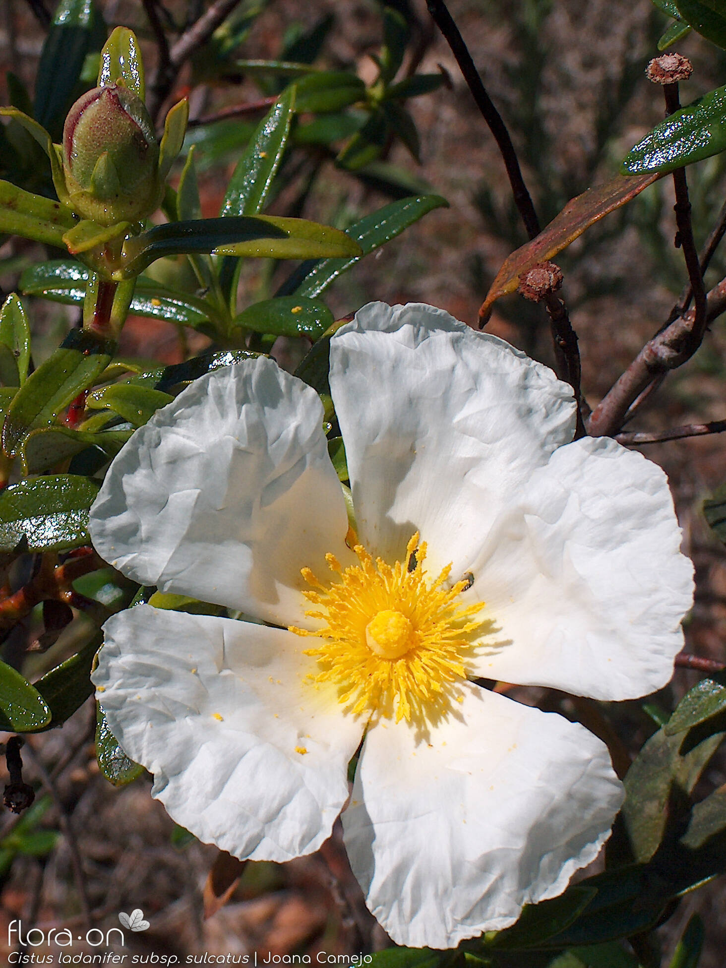 Cistus ladanifer sulcatus - Flor (close-up) | Joana Camejo; CC BY-NC 4.0
