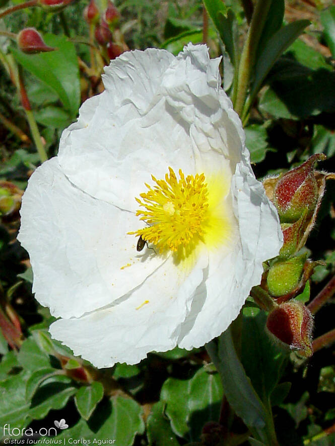 Cistus laurifolius - Flor (close-up) | Carlos Aguiar; CC BY-NC 4.0