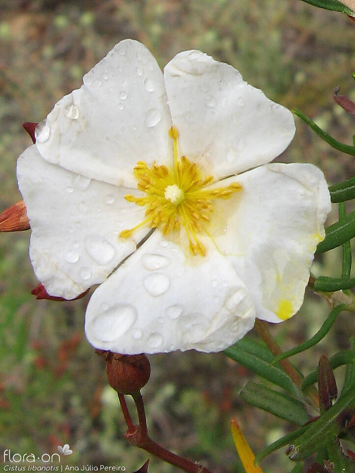 Cistus libanotis - Flor (close-up) | Ana Júlia Pereira; CC BY-NC 4.0
