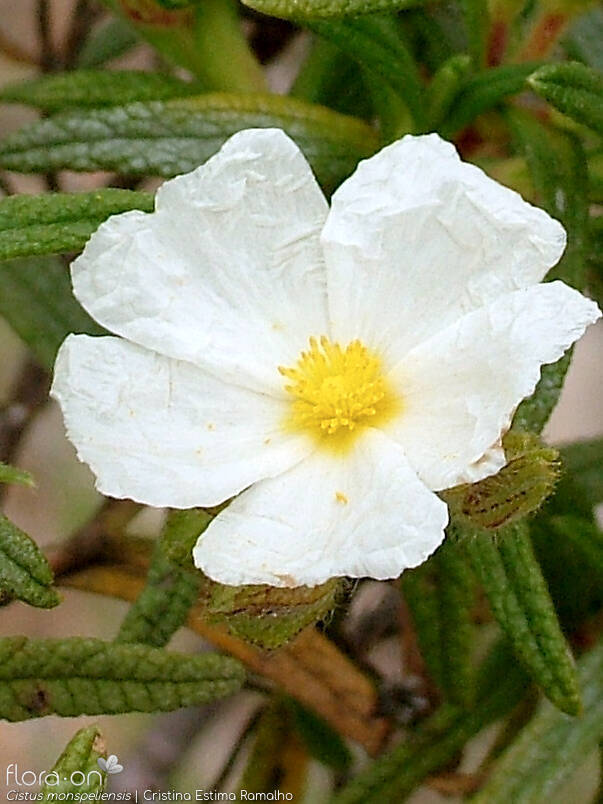 Cistus monspeliensis - Flor (close-up) | Cristina Estima Ramalho; CC BY-NC 4.0