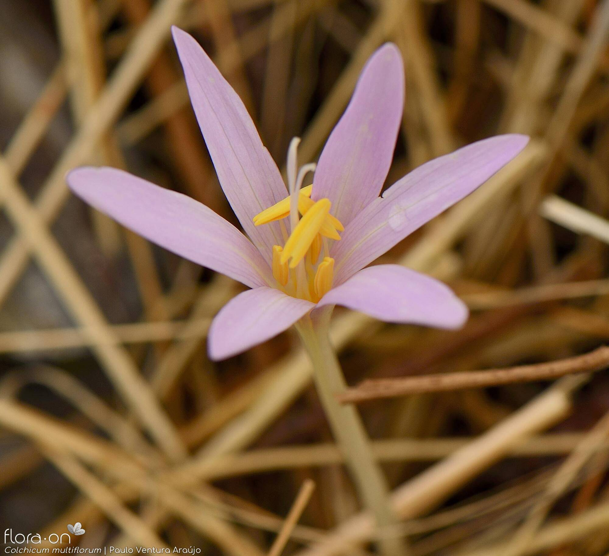 Colchicum multiflorum - Flor (close-up) | Paulo Ventura Araújo; CC BY-NC 4.0