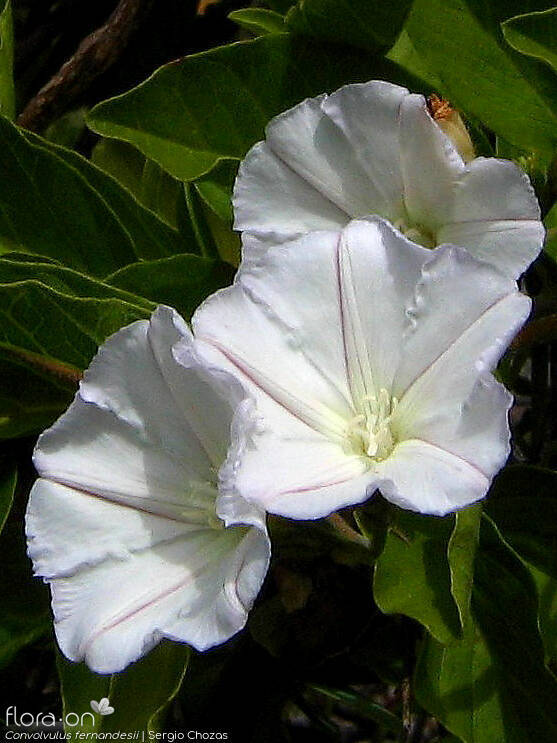 Convolvulus fernandesii - Flor (close-up) | Sergio Chozas; CC BY-NC 4.0