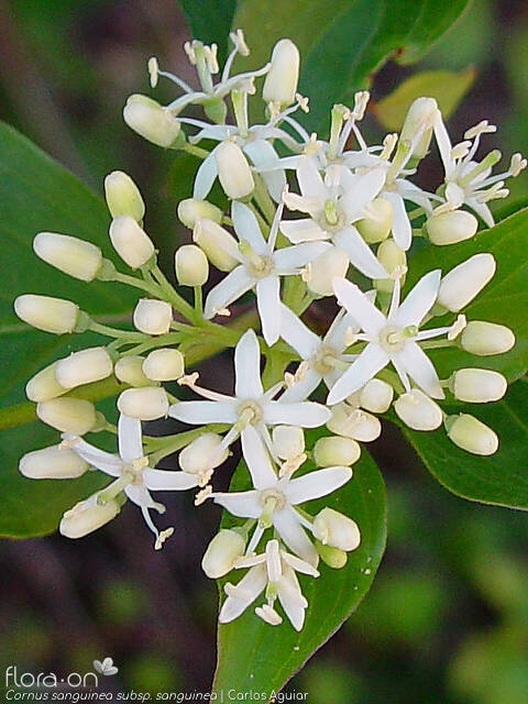 Cornus sanguinea sanguinea - Flor (close-up) | Carlos Aguiar; CC BY-NC 4.0