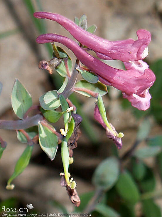 Corydalis cava cava - Flor (close-up) | João D. Almeida; CC BY-NC 4.0