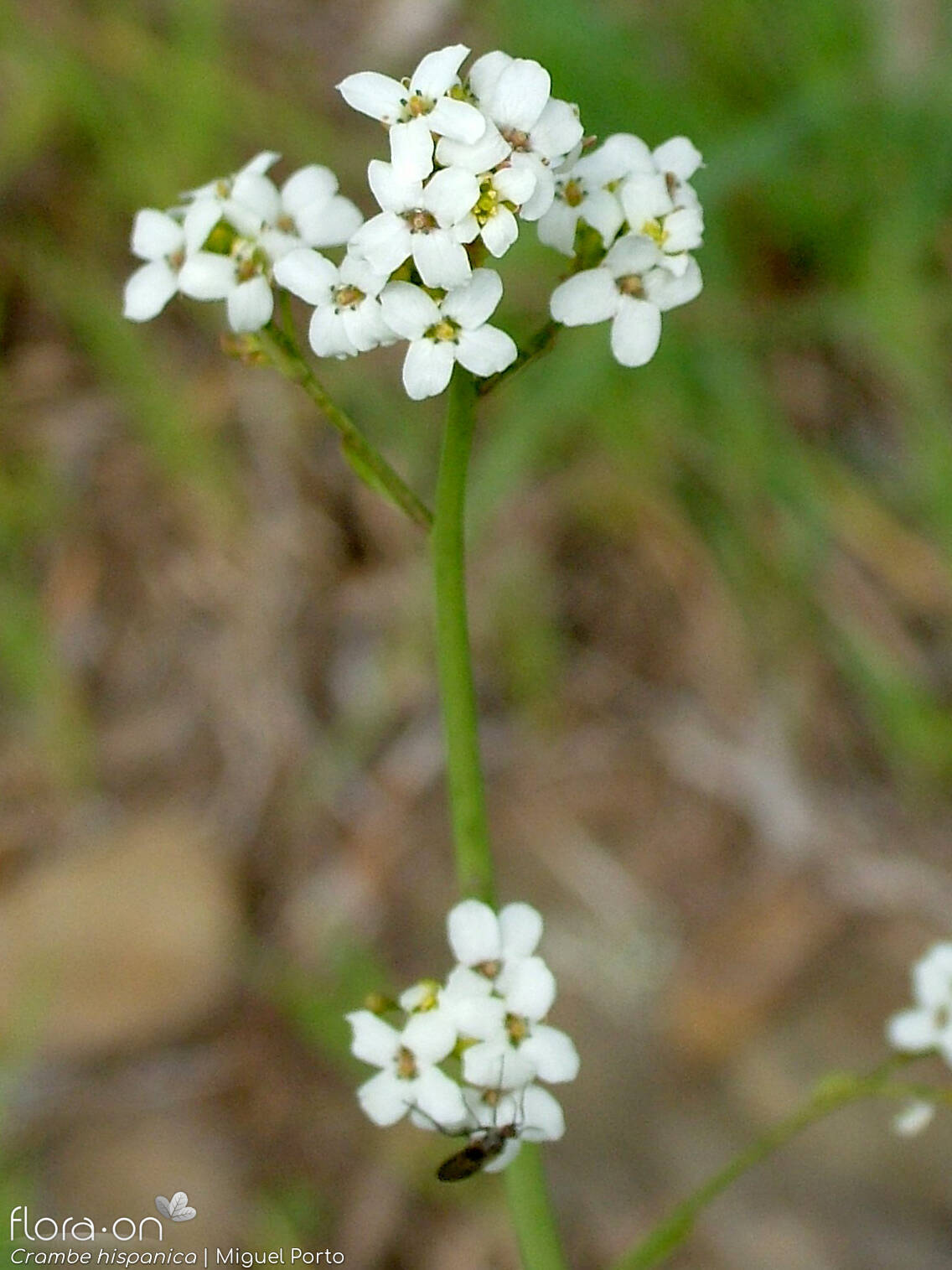 Crambe hispanica - Flor (geral) | Miguel Porto; CC BY-NC 4.0