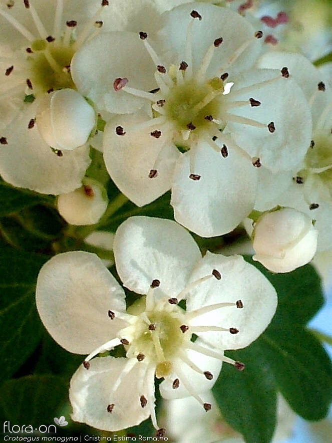 Crataegus monogyna - Flor (close-up) | Cristina Estima Ramalho; CC BY-NC 4.0