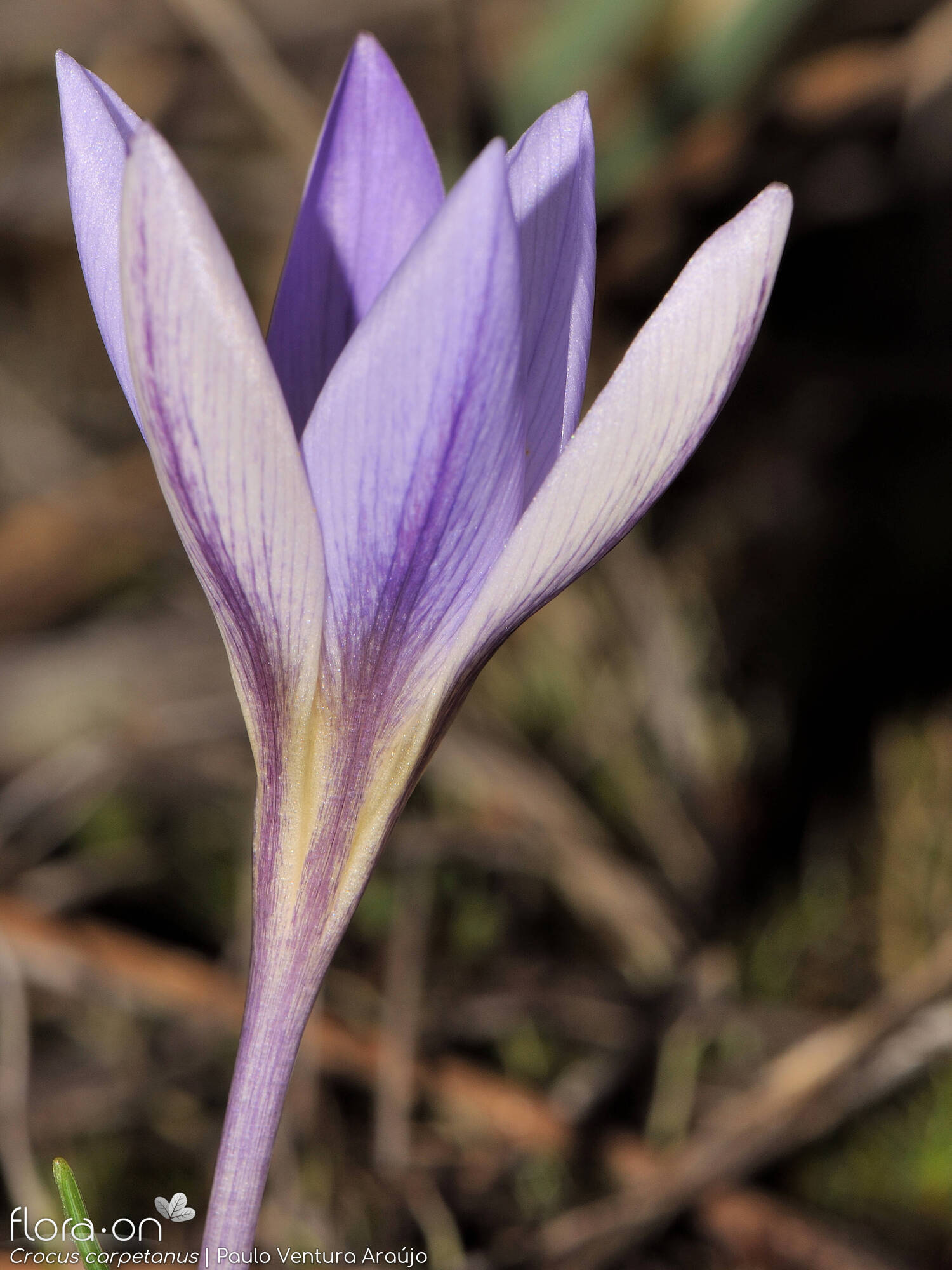 Crocus carpetanus - Flor (close-up) | Paulo Ventura Araújo; CC BY-NC 4.0