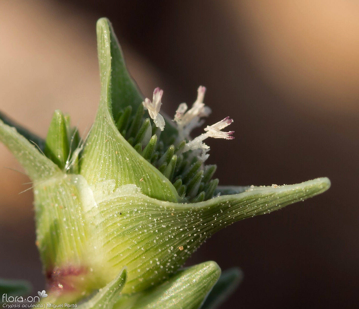 Crypsis aculeata - Flor (close-up) | Miguel Porto; CC BY-NC 4.0