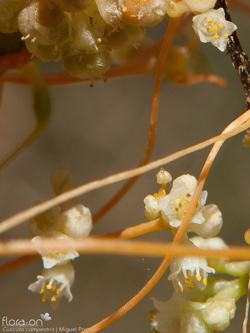 Cuscuta campestris - Flor (close-up) | Miguel Porto; CC BY-NC 4.0