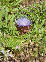 Cynara tournefortii