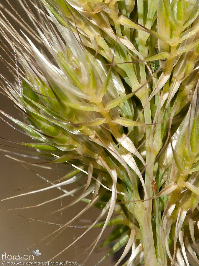 Cynosurus echinatus - Flor (close-up) | Miguel Porto; CC BY-NC 4.0
