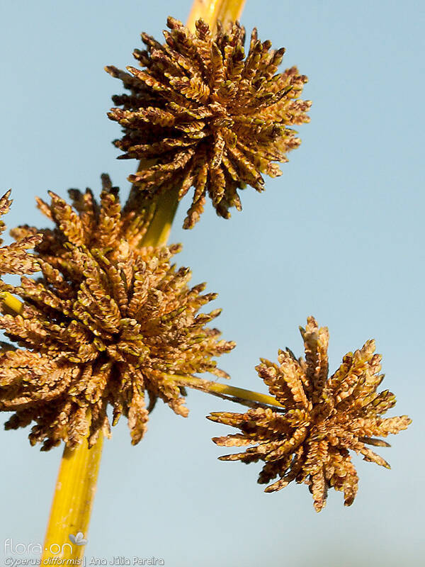 Cyperus difformis - Flor (close-up) | Ana Júlia Pereira; CC BY-NC 4.0
