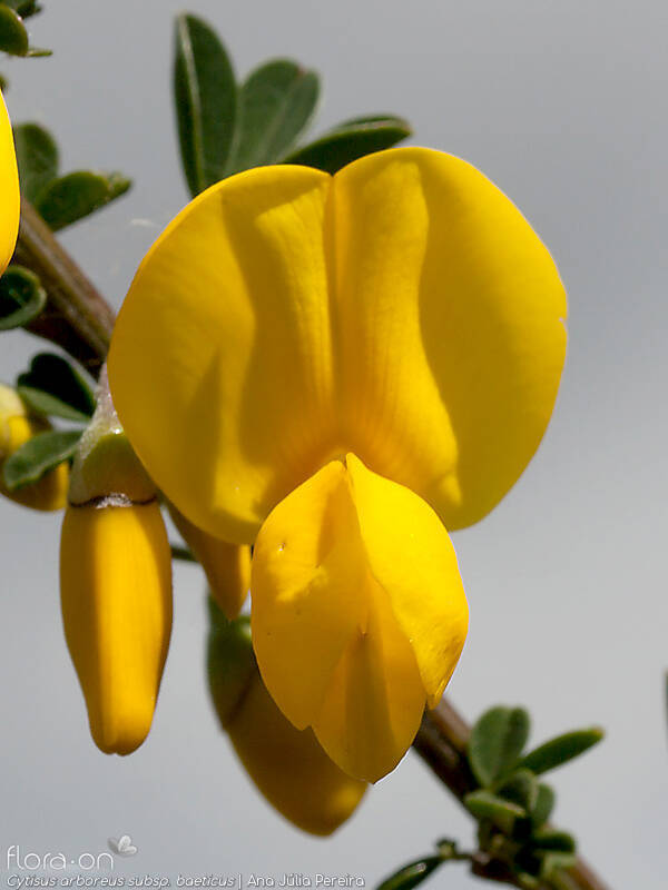 Cytisus arboreus baeticus - Flor (close-up) | Ana Júlia Pereira; CC BY-NC 4.0