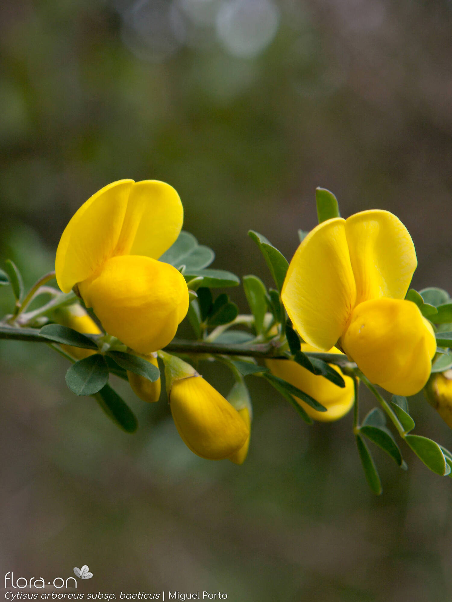 Cytisus arboreus baeticus - Flor (close-up) | Miguel Porto; CC BY-NC 4.0