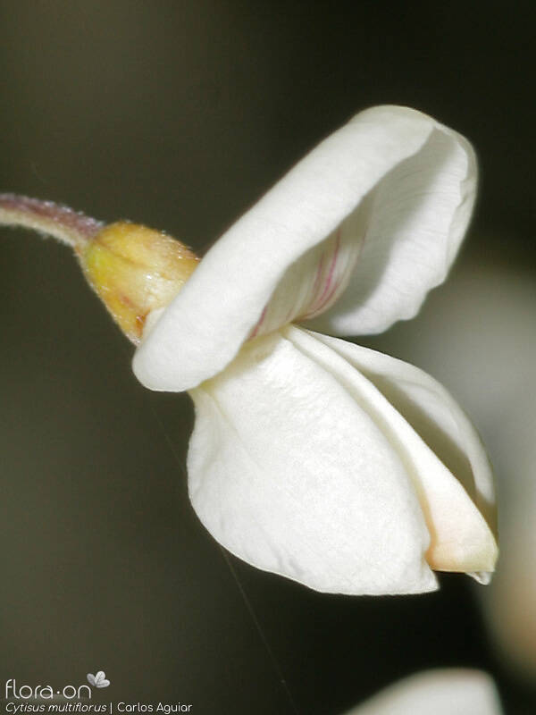 Cytisus multiflorus - Flor (close-up) | Carlos Aguiar; CC BY-NC 4.0