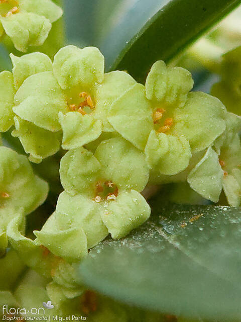 Daphne laureola - Flor (close-up) | Miguel Porto; CC BY-NC 4.0