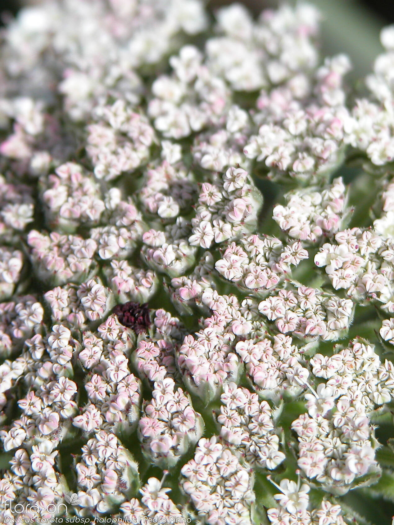 Daucus carota halophilus - Flor (close-up) | Pedro Pinho; CC BY-NC 4.0