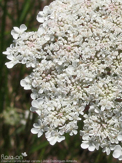 Daucus carota - Flor (close-up) | João D. Almeida; CC BY-NC 4.0