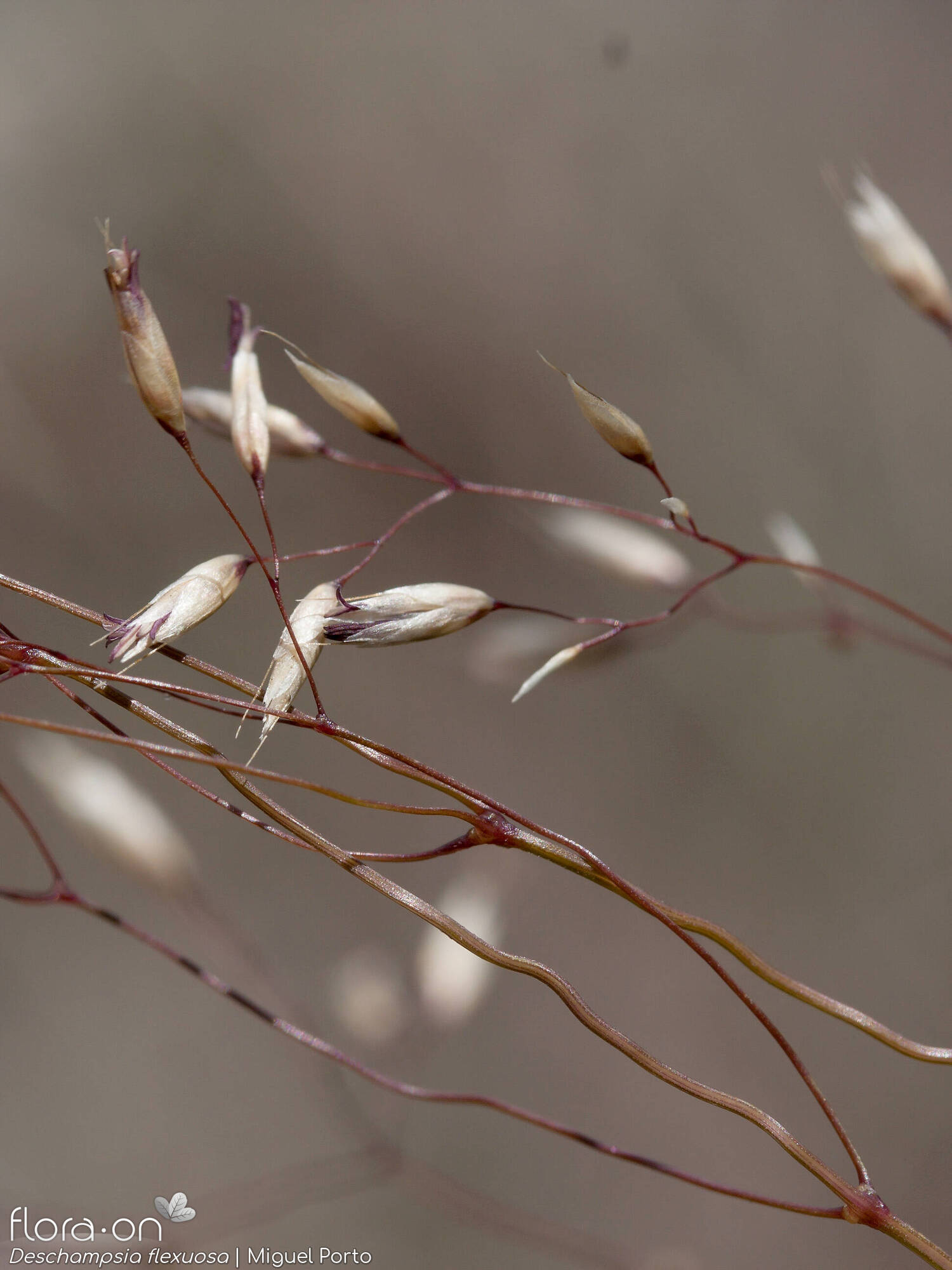 Deschampsia flexuosa - Flor (close-up) | Miguel Porto; CC BY-NC 4.0