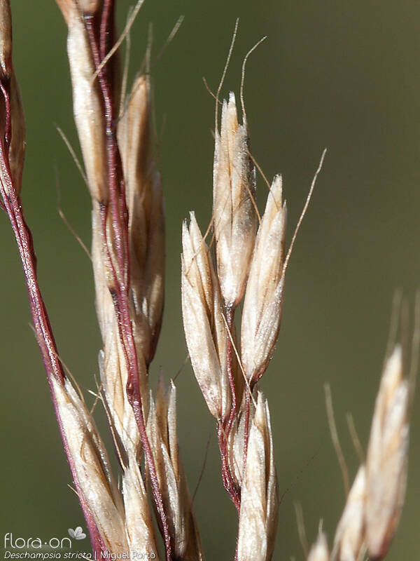 Deschampsia stricta - Flor (close-up) | Miguel Porto; CC BY-NC 4.0