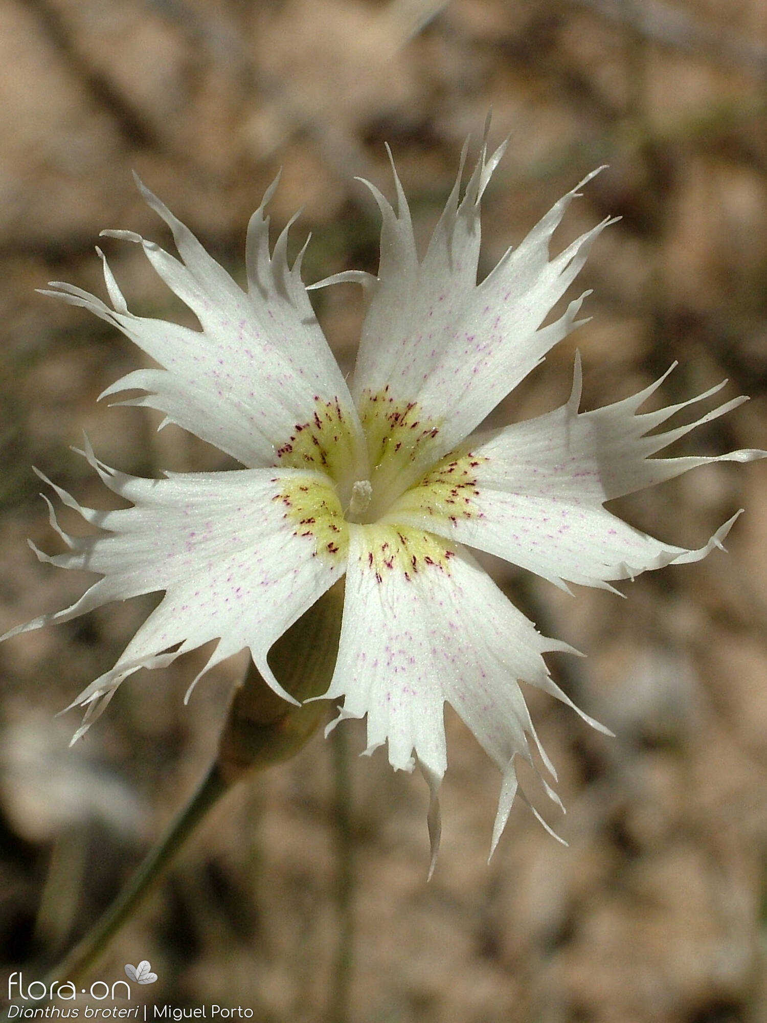Dianthus broteri - Flor (close-up) | Miguel Porto; CC BY-NC 4.0