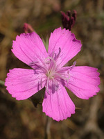 Dianthus crassipes