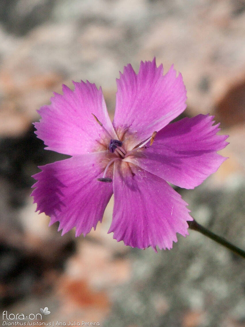 Dianthus lusitanus - Flor (close-up) | Ana Júlia Pereira; CC BY-NC 4.0