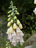 Digitalis mariana
