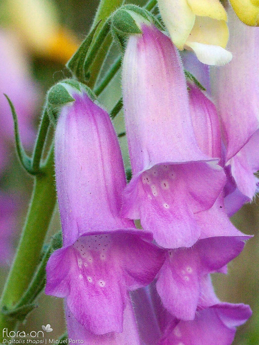 Digitalis thapsi - Flor (close-up) | Miguel Porto; CC BY-NC 4.0