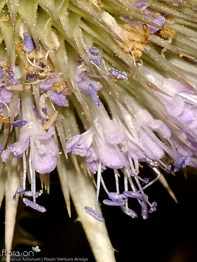 Dipsacus fullonum - Flor (close-up) | Paulo Ventura Araújo; CC BY-NC 4.0