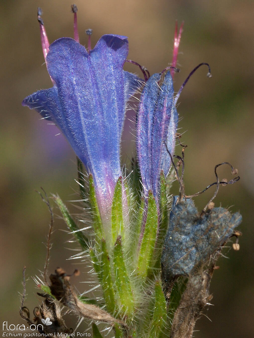 Echium gaditanum - Flor (close-up) | Miguel Porto; CC BY-NC 4.0