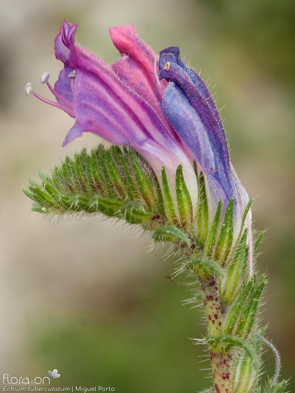 Echium tuberculatum - Flor (close-up) | Miguel Porto; CC BY-NC 4.0
