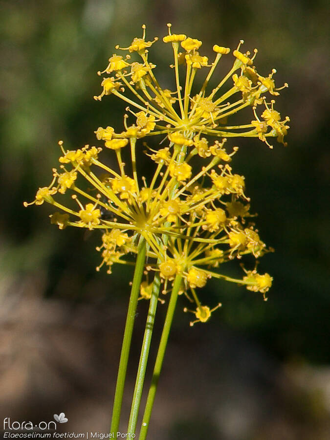 Elaeoselinum foetidum - Flor (close-up) | Miguel Porto; CC BY-NC 4.0