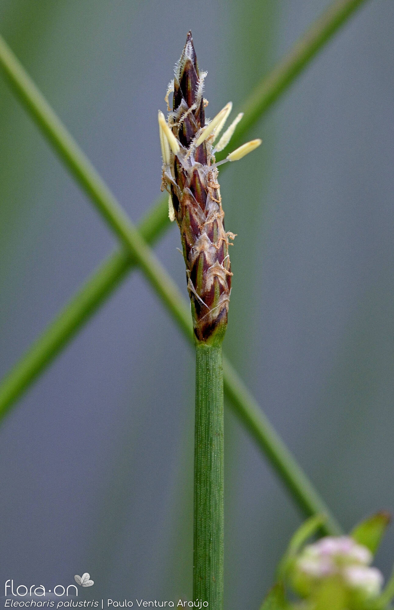 Eleocharis palustris - Flor (close-up) | Paulo Ventura Araújo; CC BY-NC 4.0