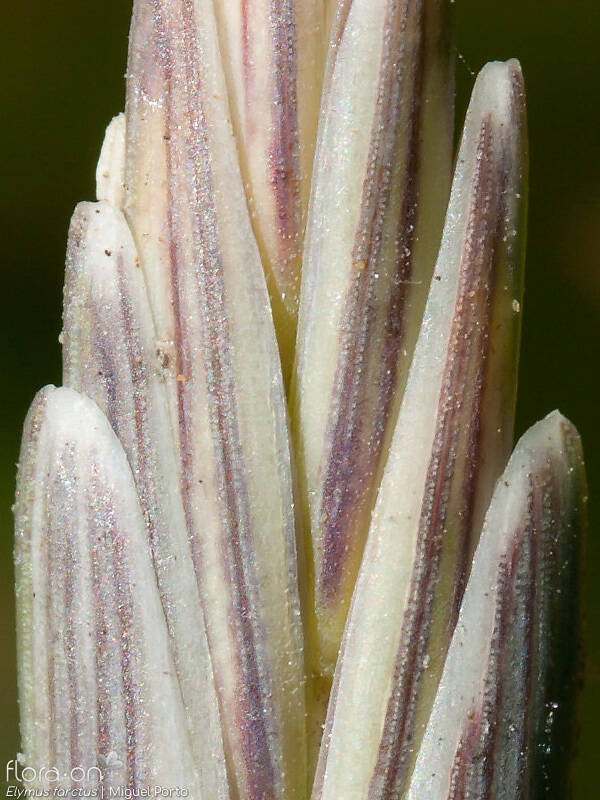 Elymus farctus - Flor (close-up) | Miguel Porto; CC BY-NC 4.0