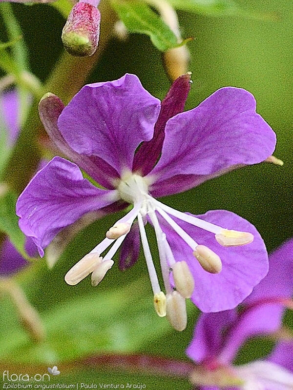 Epilobium angustifolium - Flor (close-up) | Paulo Ventura Araújo; CC BY-NC 4.0