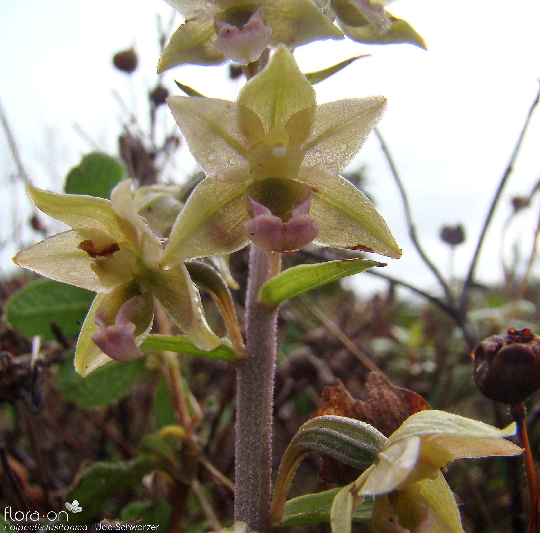 Epipactis lusitanica - Flor (geral) | Udo Schwarzer; CC BY-NC 4.0