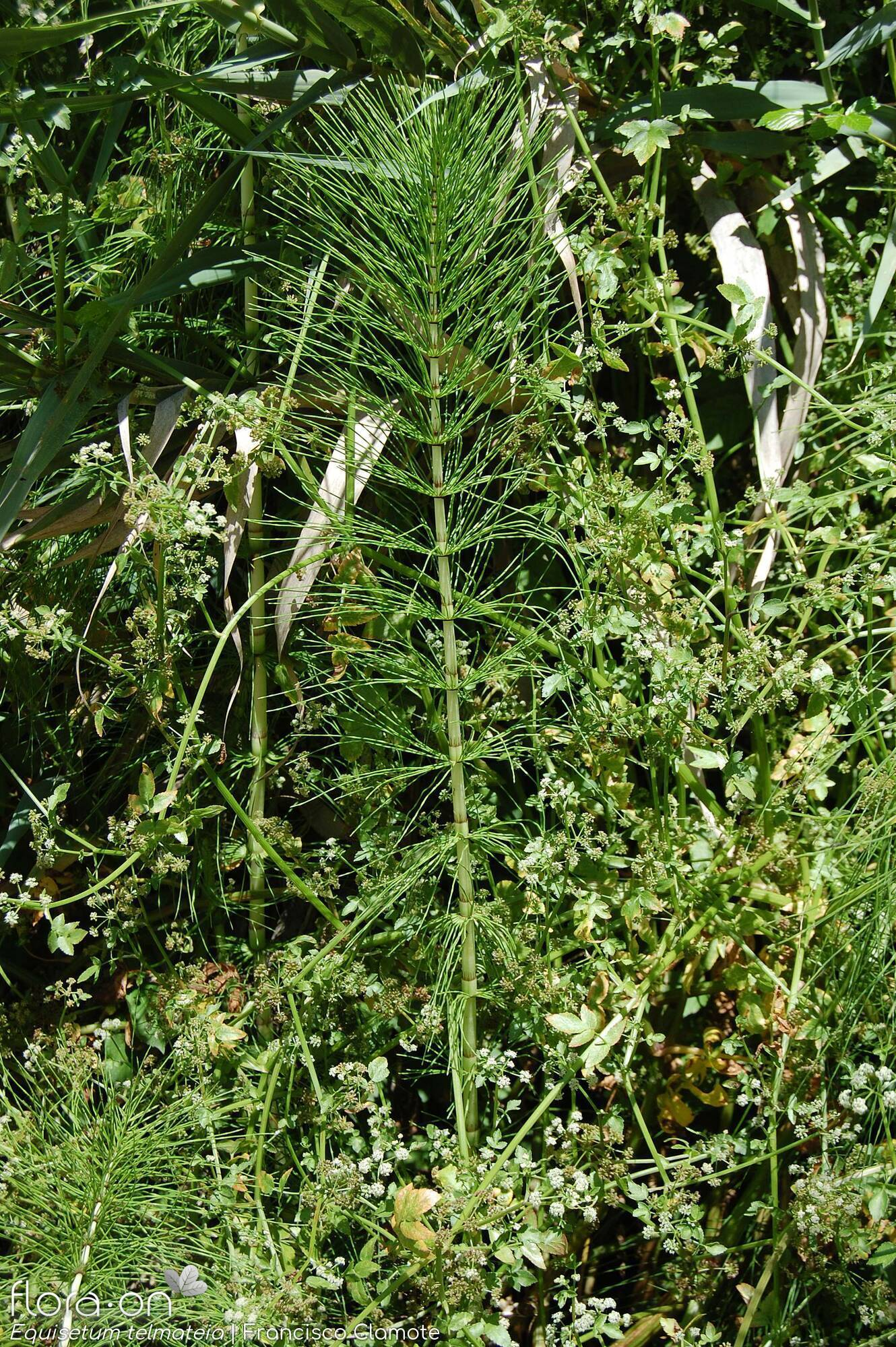 Equisetum telmateia - Hábito | Francisco Clamote; CC BY-NC 4.0