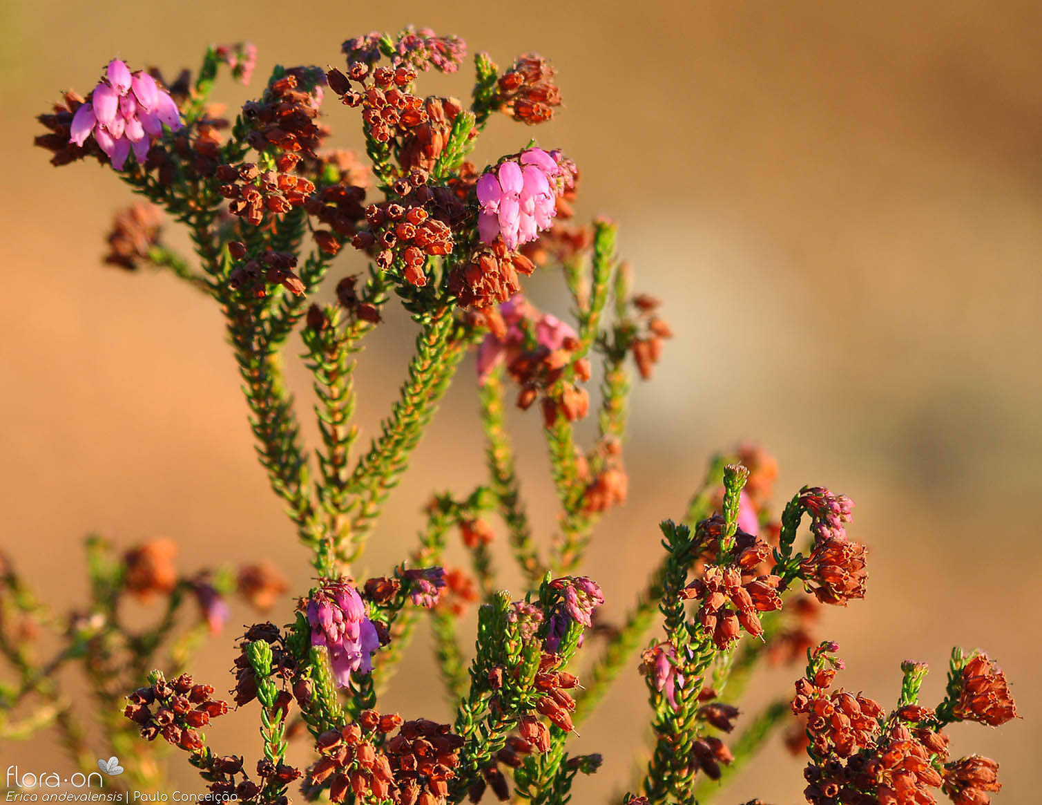 Erica andevalensis