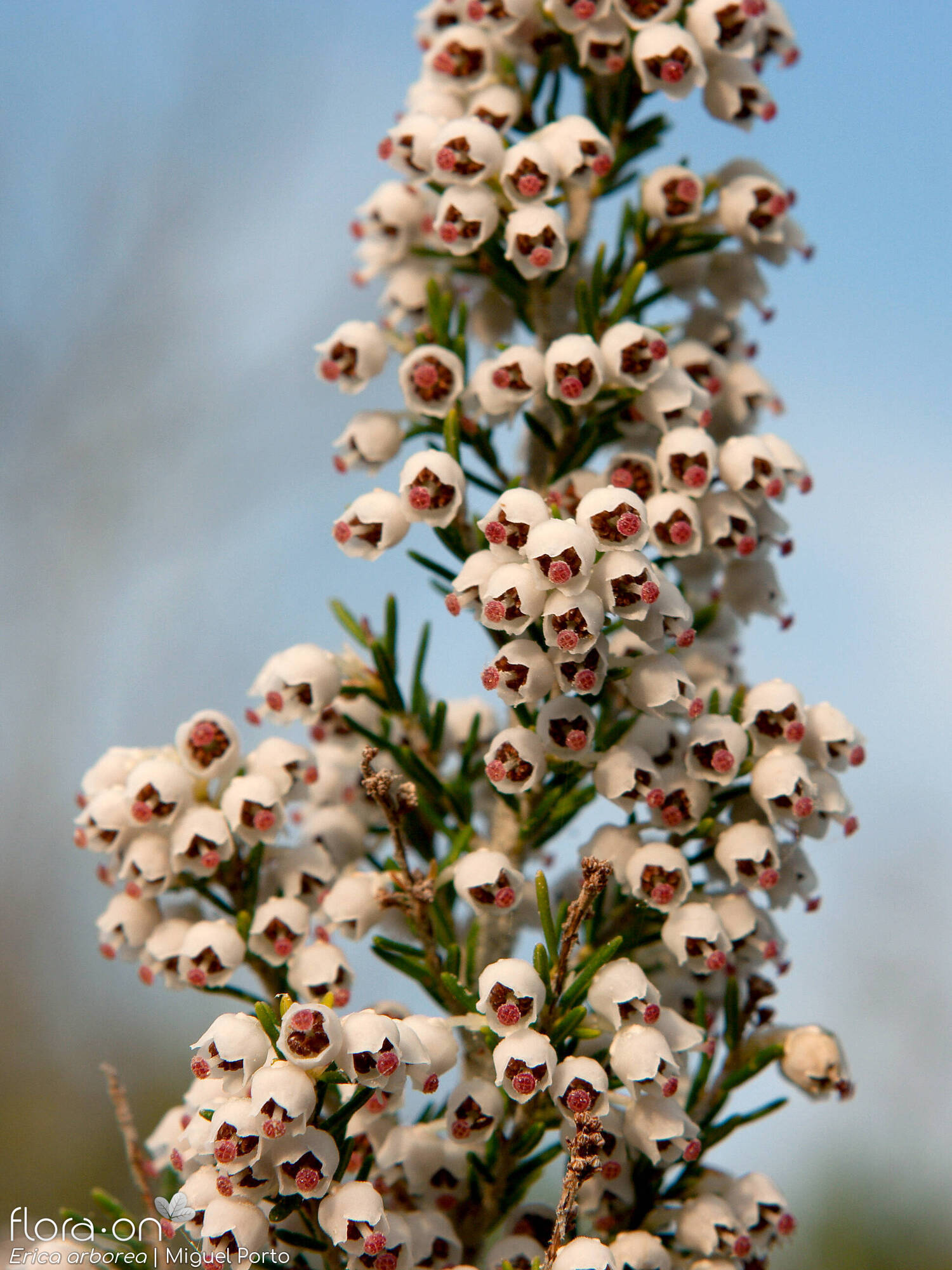 Erica arborea - Flor (close-up) | Miguel Porto; CC BY-NC 4.0