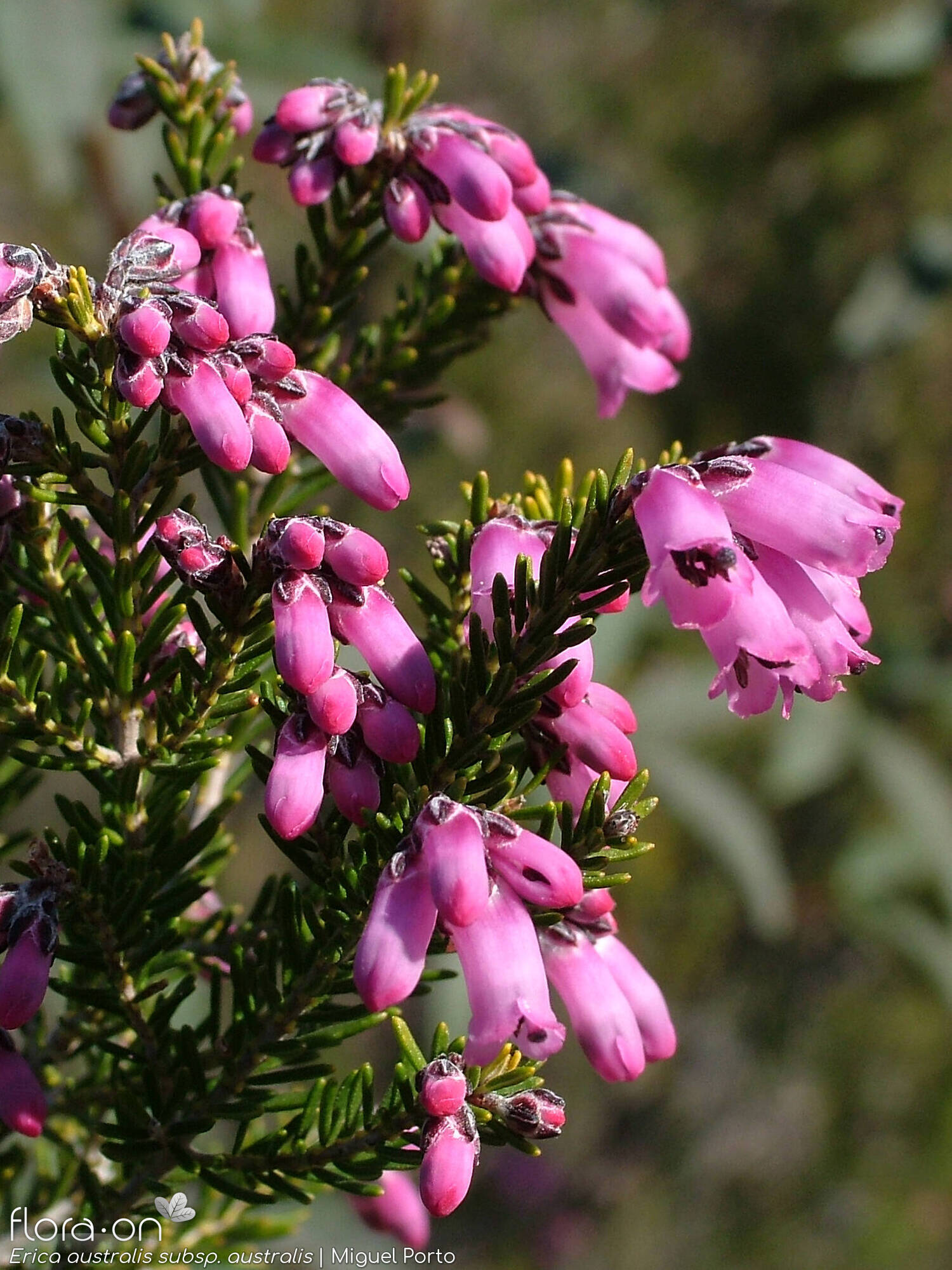Erica australis australis - Flor (close-up) | Miguel Porto; CC BY-NC 4.0