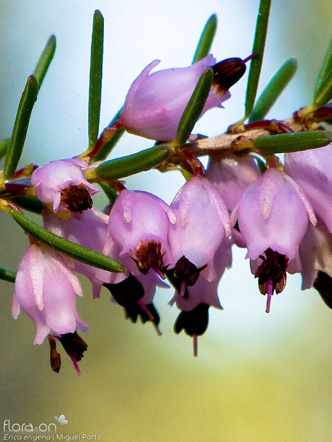 Erica erigena - Flor (close-up) | Miguel Porto; CC BY-NC 4.0
