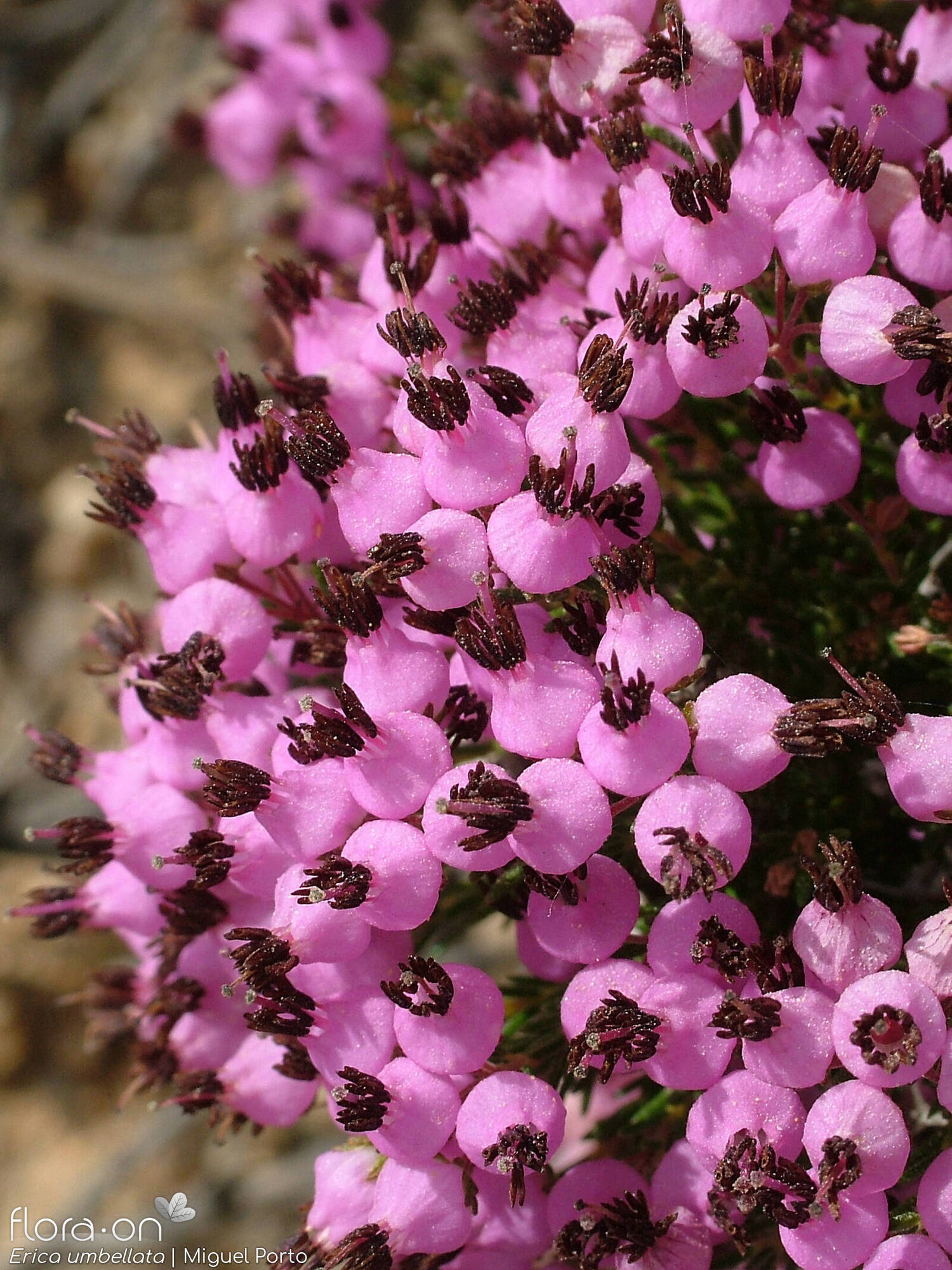 Erica umbellata - Flor (close-up) | Miguel Porto; CC BY-NC 4.0