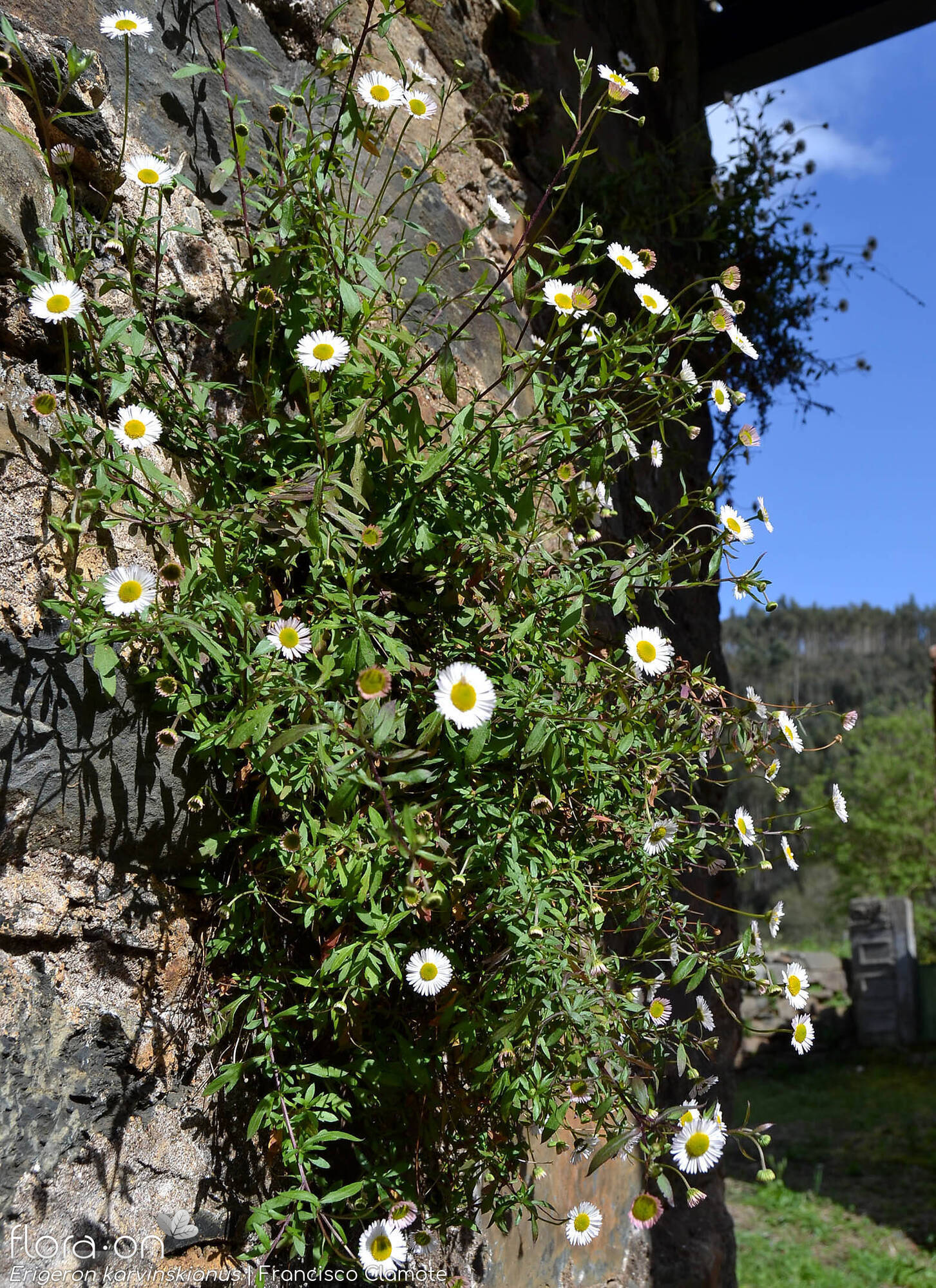 Erigeron karvinskianus - Hábito | Francisco Clamote; CC BY-NC 4.0