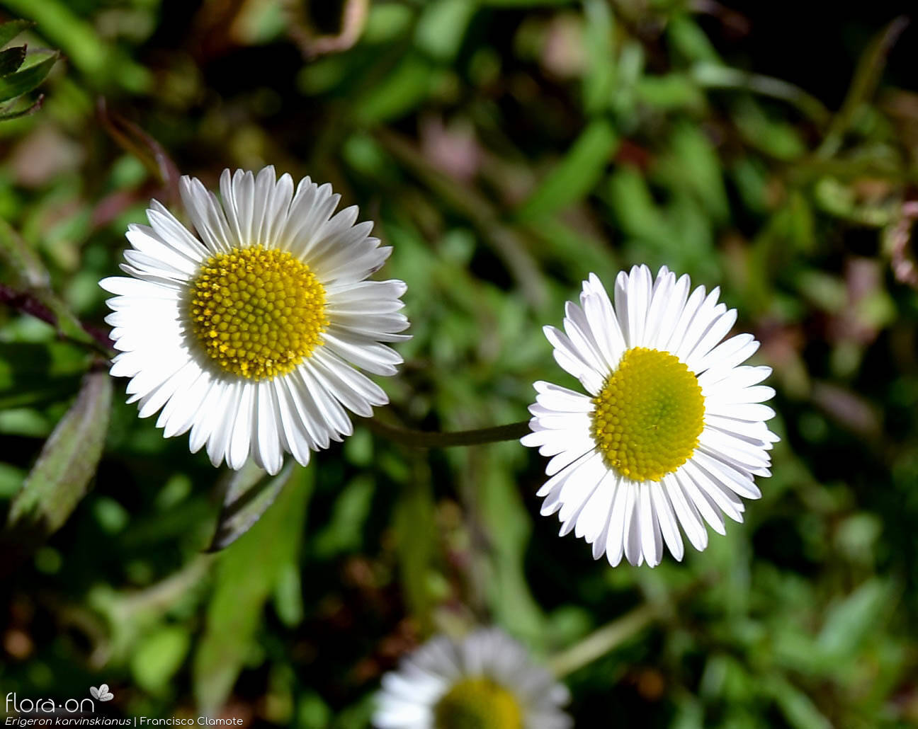 Erigeron karvinskianus - Capítulo | Francisco Clamote; CC BY-NC 4.0