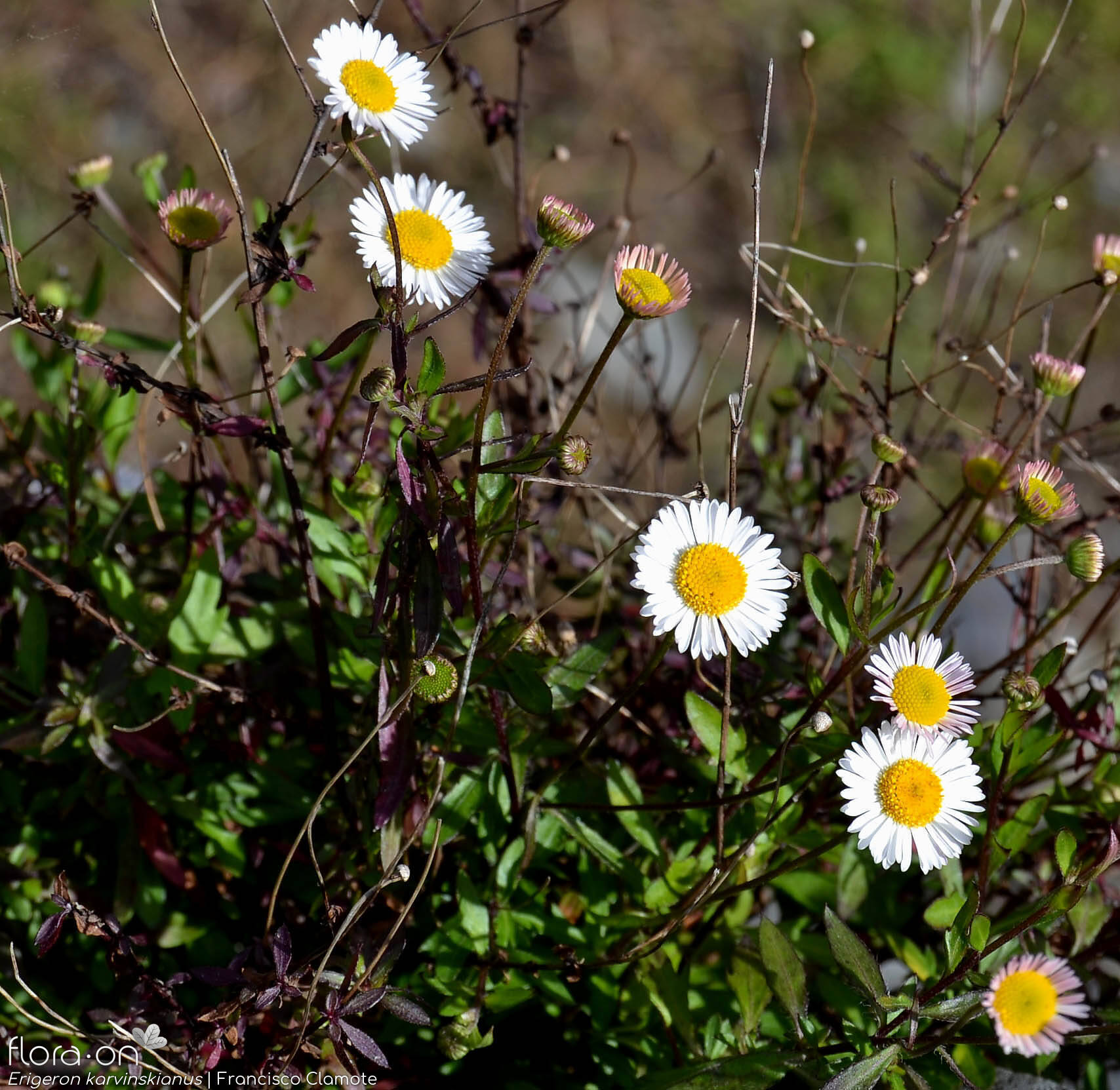 Erigeron karvinskianus - Flor (geral) | Francisco Clamote; CC BY-NC 4.0
