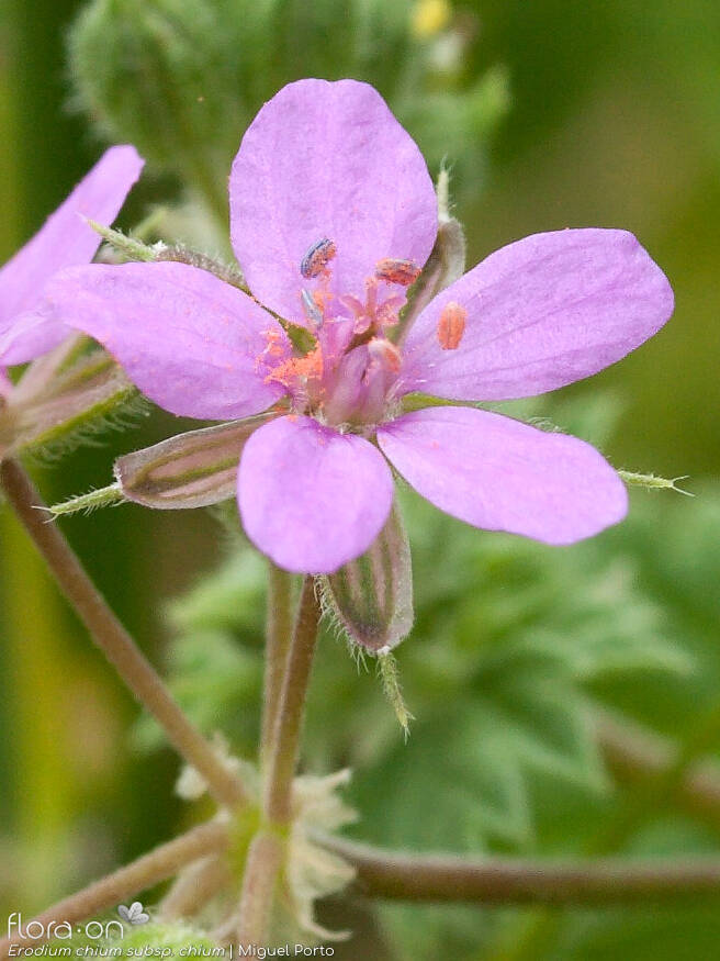 Erodium chium chium - Flor (close-up) | Miguel Porto; CC BY-NC 4.0