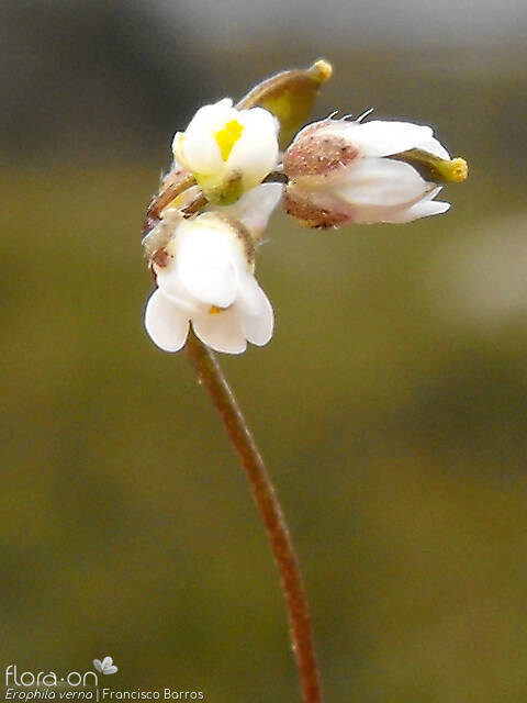 Erophila verna - Flor (close-up) | Francisco Barros; CC BY-NC 4.0